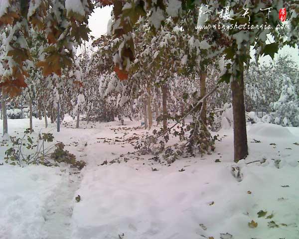 大雪后树木被摧残的样子,万物都得适应自然规律,你不落叶也得落
