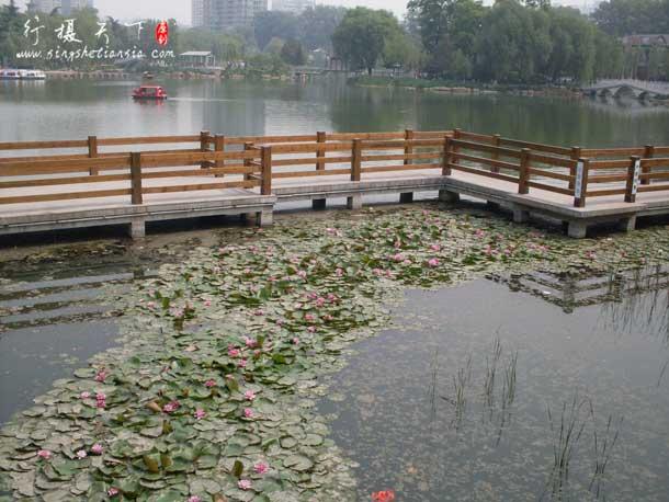 长安公园的盛开的荷花