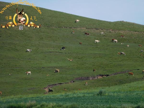 山上的牛群